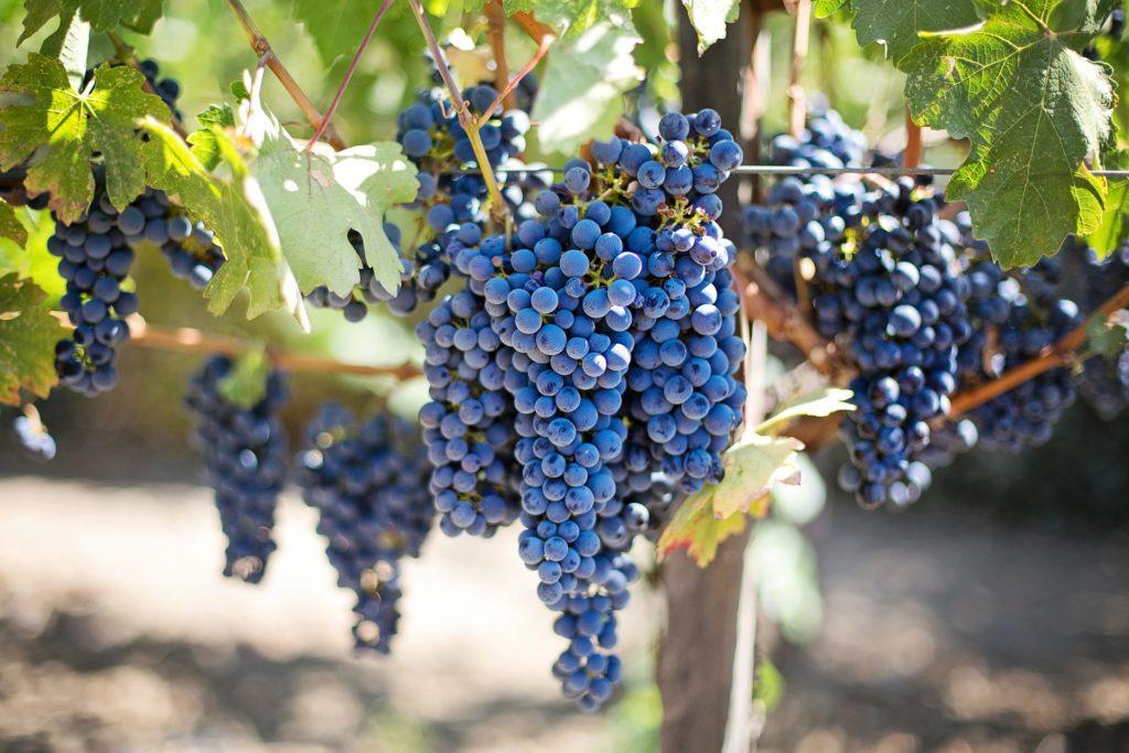 grape-bunches-vineyard